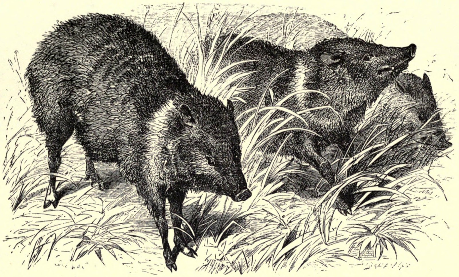 A Tale of a Peccary